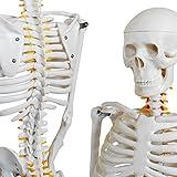 monolife 人体骨格模型 骨格標本 稼動 直立 スタンド 教材 85cm 1/2 モデル (ホワイト 台座・四角)