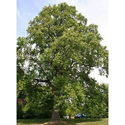 Ferry 50 Samen: Gelb Pappel-Samen, Tulpenbaum