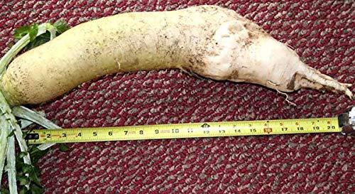 seedsown . Semillas Mini bonsais álamo Una Buena opción para familias Absorber el formaldehído Buxus Maceta árbol Chino del boj Semillas 100 Piezas: 5