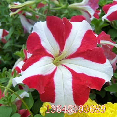 B/H pour Le Jardin Graines,Graines De Printemps Vivaces,Morning Glory Vine Graines de Fleurs en Pot Trompette Flower-G_20 Capsules
