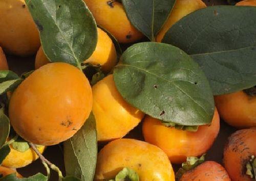 Kakipflaume, Sharonfrucht, Asian Persimmon, frosttolerant,leckere Früchte, Samen