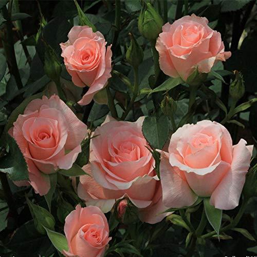 Semillas de Flores Ornamentales,Rose Seeds Four Seasons Flower Balcón Planta en Maceta-Rojo Anaranjado Rose_5 Paquetes