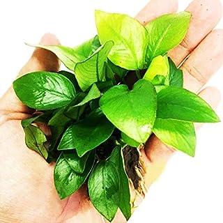 Planterest – Anubias Nana Golden Potted Easy Live Aquarium Plant Decorations BUY2GET1FREE