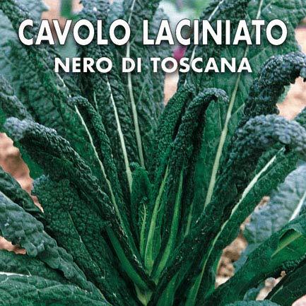 CAVOLO NERO - CAVOLO LACINIATO NERO DI TOSCANA (Brassica oleacea L. var. acephala) - SEMI