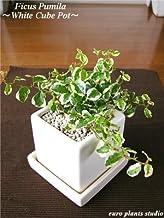 Ficus Pumila / White Cube Pot / フィカス・プミラ / ホワイト キューブポット / インテリア観葉植物 / 鉢植え
