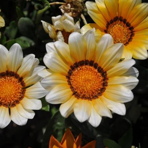 200PCS Gazania rigens graines Fleurs Graines Pour Bonsai Garden Balcon 2015 Semillas Gazania Splendens Chrysanthemum