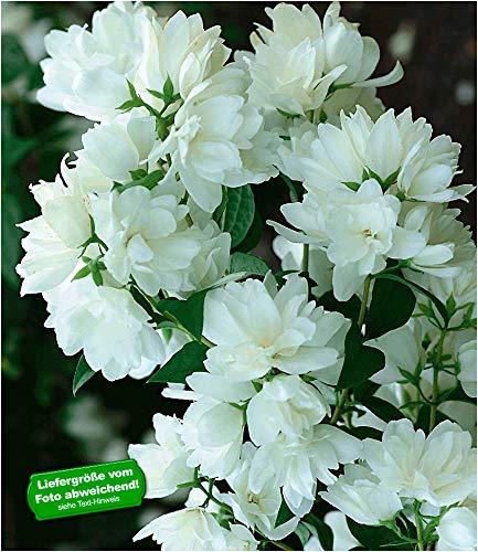 BALDUR Garten Bauern-Jasmin, 1 Pflanze, Philadelphus coronarius Gartenjasmin duftend winterhart Duft-Jasmin
