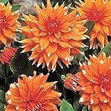 5 bulbes Dahlia 'Color spectacle'