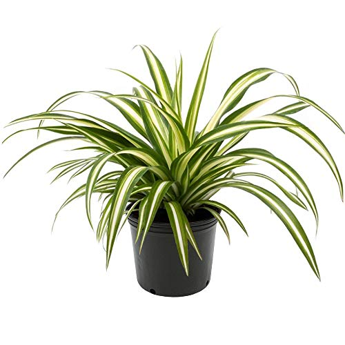 American Plant Exchange Spider Plant Easy Care Live, 6 Pot, Indoor/Outdoor Air Purifier