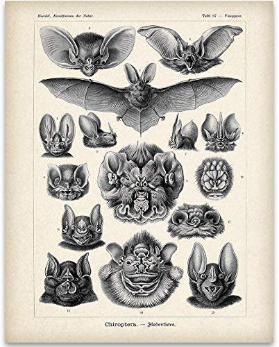 Ernst Haeckel Bats Illustration - 11x14 Unframed Art Print - Great Biology Lab Decor or Gift Under $15 for People Who are Fascinated with Bats