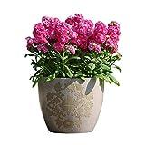 Fnho Raras Semillas de Hierba,Planta Maceta Semillas,Flor Violeta, Flor de balcón interior-100 cápsulas
