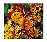 Mimulus tigrinus Mix - Gauklerblume - Tigerblume - Blume - 500 Samen