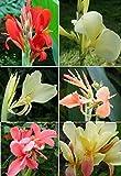 12 semi misti Giglio canna, non pianta, fiore, Canna Indica molti colore