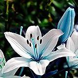 Mymotto 20 Pcs/bolsa Azul Rare Lily Bulbos Semillas Jardín Decoración Perfume Flores Semillas
