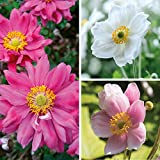 Thompson & Morgan Perennial Anemone Collection 3 Varieties Hardy Garden Bare Root Plants Ideal for Borders, Patios & Pots (3 Bare Root Plants)