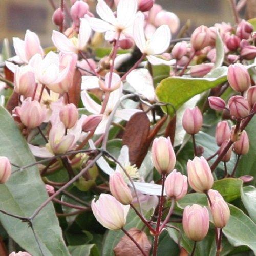 2 x Clematis armandii Apple Blossom (Immergrün, Rosa, Duftend, Mehrjährig & Winterhart)   2-er set immergrüne, schnellwachsende Kletterpflanzen - 2 x 1,5 Liter Topfen