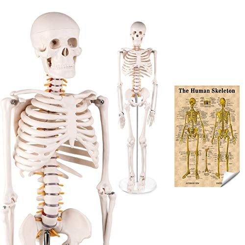 LYOU Mini Human Skeleton Model, Half Life Size Skeleton Replica with Removable Arms and Legs, Includes Detailed Poster for Study and Reference