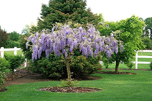 Purple Wisteria Plant - Live- 6-12' Tall in a 3' Pot - 100% Live- Ship from USA
