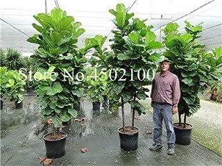 Bloom Green Co. 50 piezas del árbol colorido de Ficus Lyrata Bonsai, maceta interior Banyan Tree Bonsai Plantar en el jard...