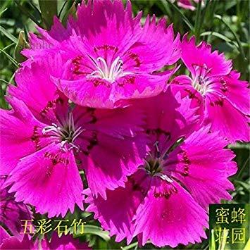graines de carnation colorées graines de bambou brodé à bebaizhen bambou dix types de carnation américain sur 100 4