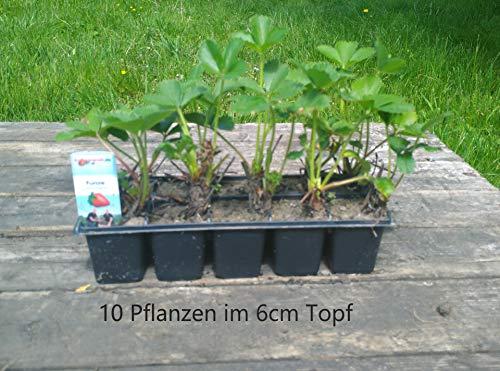 Erdbeerpflanzen 10 Fragaria Senga® Sengana® 10er Tray Erdbeeren