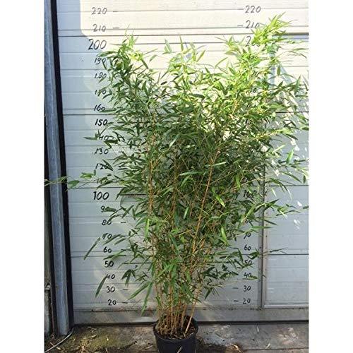Phyllostachys aureosulcata 'Aureocaulis' Topf C2-2 Liter ca. 75-100 cm - Goldener Peking Bambus - Oriental Yellow Grove Bamboo