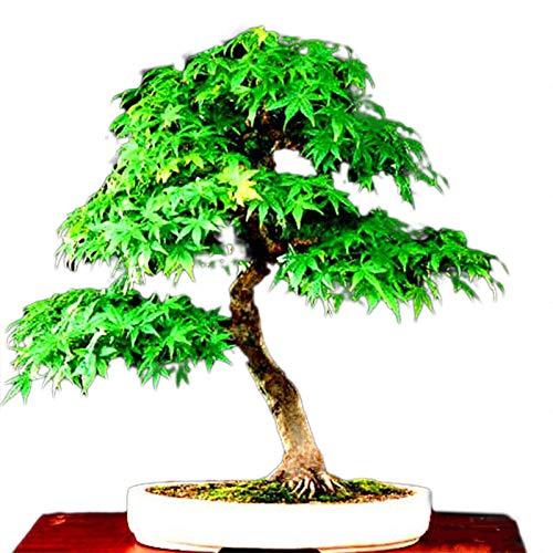 TENGGO Egrow 50 Pz/Pacco Semi di Acero Canada Mini Acero Rosso Bonsai Giardino Fai da Te Bonsai pianta di Albero di Acero - 3