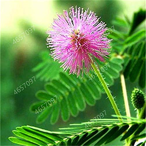 100pcs Mimosa Bonsai Plants Perennail Indoor Flowering Potted Plant Rare Mimosa Pudica Flower For Home Garden Shy Grass Plants : 3