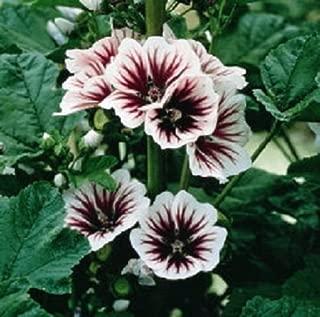 50 Seeds Malva Sylvestris Hollyhock Seeds French Mallow Hollyhock ( Perennial )
