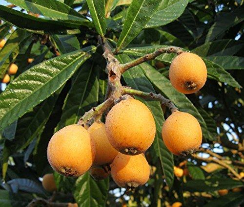 Mispel Japanische Mispel Tropical Fruiting Stauden Zierobstbaum-Samen 5