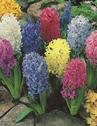 10 Hyazinthen gemischt duftend Blumenzwiebeln