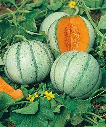 David's Garden Seeds Fruit Cantaloupe Aspire Selling SAL2452 25 Raleigh Mall Orange