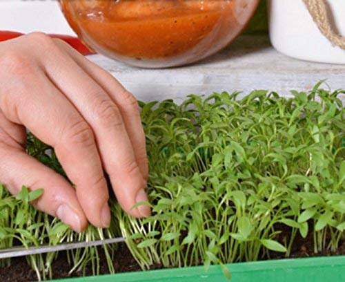 Microgreens - Coriandre - jeunes feuilles au gout exceptionnel; coriandre, persil chinois - 400 graines