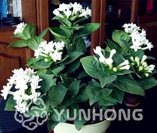 4: 50 Stücke Französisch Bouvardia Longiflora Blumenstrauch Busch Samen Erstaunliche Gartentöpfe Pflanzgefäße Bonsai Pflanze Baum Blumen