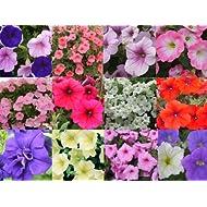 Petunia Surfinia Collection plants Plugplants4u