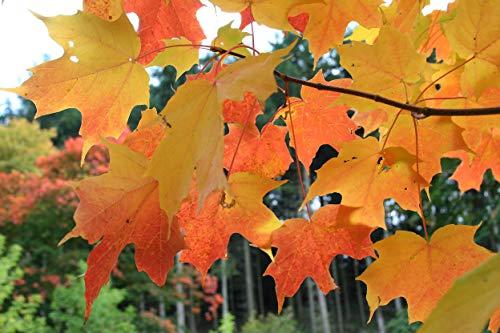 Zucker-Ahorn Ac. saccharum Pflanze 15-20cm Ahorn Honigahorn Zuckerahorn Rarität