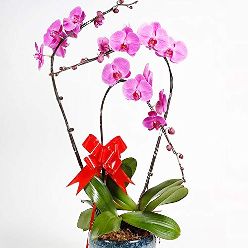 Phalaenopsis Orchids 20pcs Seeds Beautiful Garden Bonsai Balcony Flower Butterfly Orchid Bonsai Hydroponic Flower Plant for Four Seasons Perennial Flowering Plants Potted Charming (Purple)