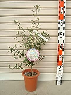 【オリーブ苗木[T]】 タラスコア 3年生苗 5号鉢 【ガーデンストーリーの苗木】