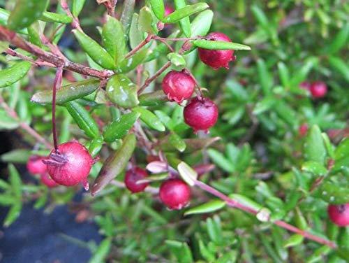 1 Ugni molinae - Chilean Guava Live Plant