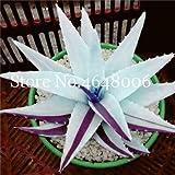 Kalash Nuevo 120 PC Aloe Vera semillas de plantas para jardinería blanca púrpura