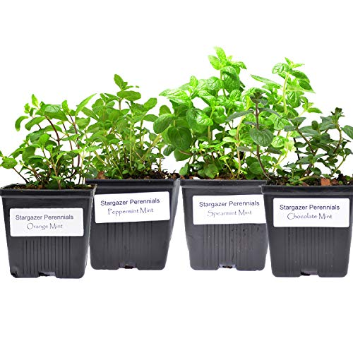 Stargazer Perennials Mint Collection (4) Potted...