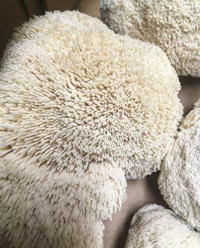 Lion's Mane Mushroom Spawn