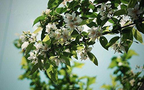 * 30 pcs / sac blanc jasmin Semences Semences Jasmine Flower Fragrant végétales Arabian Jasmine Graines Plantes Bonsai pot pour Maison & Jardin