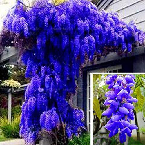 Soteer Garten- Echt Wisteria Sinensis Samen Blauregen Zierbaum Gartenpflanze Saatgut entzückend blütend winterhart mehrjaehrig aus China und Japan
