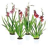 Altezza della pianta (compresa la pentola): 60 cm La consegna contiene 4 piante Dimensioni del piatto: 12 cm Numero di rami: 2