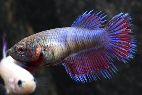 LIVE FEMALE CROWNTAIL BETTA