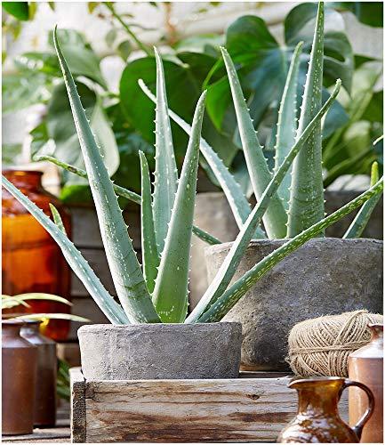 BALDUR Garten Echte Aloe Vera,1 Pflanze im 10,5 cm-Topf, Luftreinigende Zimmerpflanze