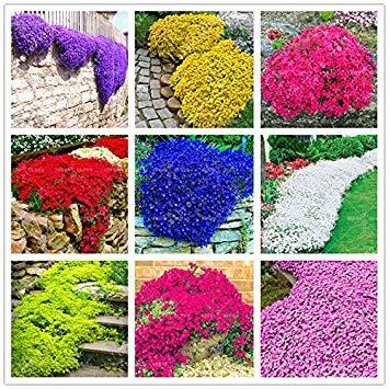 100seeds / Bag Bunte Thymian Samen Perennial Blumensamen Bodendecker-Blumen-Garten-Dekoration Kletterpflanze Blau