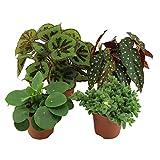 4x Mix Trendige Büropflanzen | Pilea peperomioides, Begonia maculata, Delosperma echinatum, Begonia masoniana | Höhe 15-25cm | Topf Ø 12cm