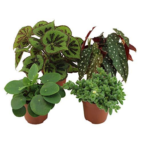 4x Mix Trendige Büropflanzen   Pilea peperomioides, Begonia maculata, Delosperma echinatum, Begonia masoniana   Höhe 15-25cm   Topf Ø 12cm